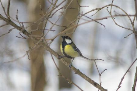 Aves canoras más reconocidas