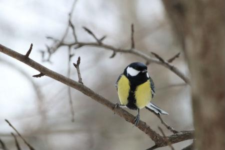 La canción en las aves canoras