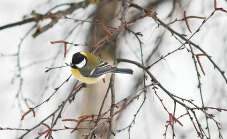 La migración de algunas aves canoras