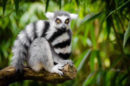Lemures en parque nacional andasibe