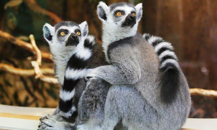 El Parque Nacional de Andasibe-Mantadia: hogar de lémures